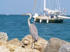 Heron and Sailboat on The Venice Florida Jetty