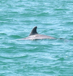 Dolphins off the Venice Florida Jetty