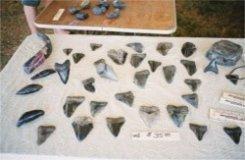 Sharks teeth on display Venice Florida