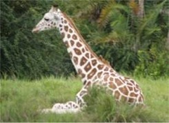 Giraffe at Disneys Animal Kingdom