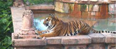 Siberian Tiger at Disneys Animal Kingdom