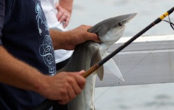 Bonnet Head Shark Caught at Historic Bridge Street Pier Bradenton Florida