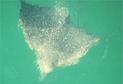 eagle ray at the surface at venice florida fishing pier