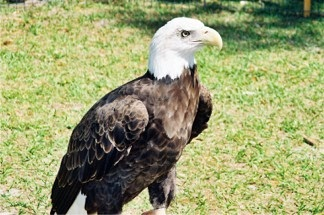 Sarasota Earth Day featuring the Bald Eagle at Oscar Scherer Park in Sarasota Florida