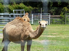 camel at big cat rescue