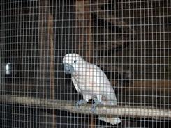 Big Cat Habitat's cockatoo bird