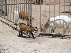 Big Cat Habitat's pygmy goats
