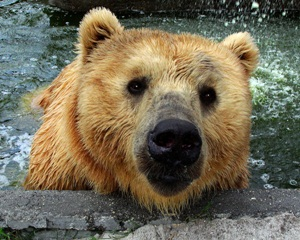 kodiak bear at big cat sanctuary sarasota florida