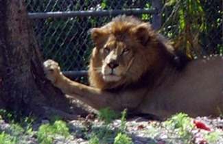 Lion at Big Cat Habitat and Gulf Coast Sanctuary Sarasota Florida