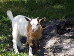 Big Cat Habitat's pygmy goat