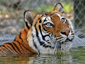 A tiger in the water at Big Cat Habitat and Gulf Coast Sanctuary