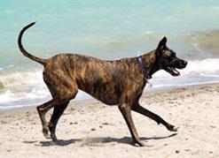 Great Dane on Brohard Beach Florida