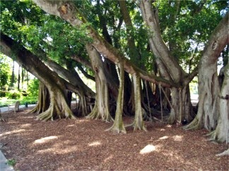 marie-selby-botanical-gardens-banyan-grove