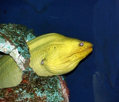 A Moray eel at Sarasota Mote Marine Aquarium