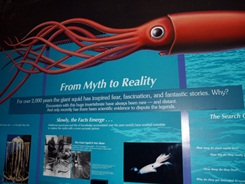 Mote Aquarium exhibit The Giant Squid on display