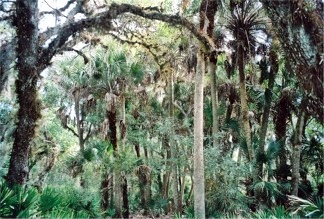 The Hammock Palms on the nature trail at Myakka River State Park