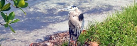 Great Blue Heron at Myakka State Park Lagoon