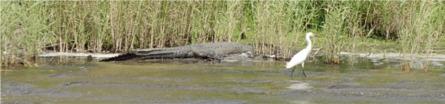 An American Alligator at water's edge on the Myakka Lake near Sarasota Florida