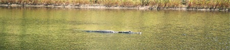 An American Alligator in the lagoon at Myakka Park