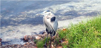 Great Blue Heron at Myakka State Park near Sarasota Florida