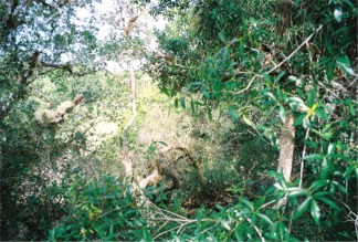 The tree top view from the Myakka Canopy Walkway