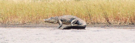 An American alligator on the shore at Myakka River State Park