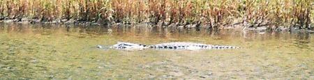 Alligator swimming in the boat basin at Myakka River State Park