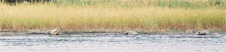 Gators on the shore at Myakka Lake near Sarasota Florida