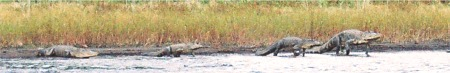 Alligators walking the shore of Myakka Lake