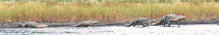 Alligators walking the shore of Myakka Lake