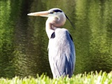 Great Blue Heron at Myakka park