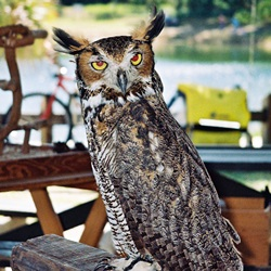 A horned owl on display at Oscar Scherer State Park near Sarasota Florida