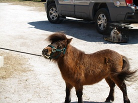 Miniature horse at Sarasota Pet Festival