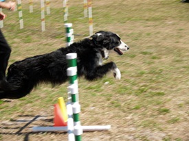 Agility Course at Sarasota Pet Festival