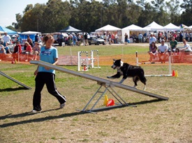 Dog agility course at Sarasota Pet Festival