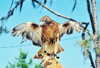 Red Tail Hawk at Oscar Scherer Park Sarasota Earth Day