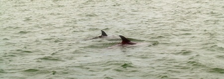 Dolphins in Sarasota Bay Florida