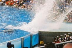 Shamu splashes down at Seaworld Orlando Florida