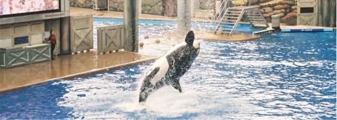Shamu final splash at Shamu Stadium Seaworld Orlando Florida