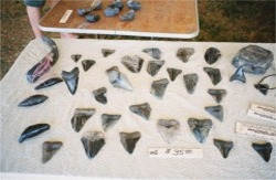 Sharks teeth on display Venice Florida