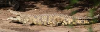 Crocodiles at Disneys Animal Kingdom