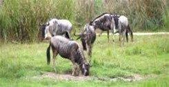 Wildebeasts at Disneys Animal Kingdom safari
