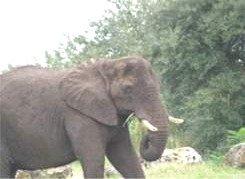Elephant at Disneys Animal Kingdom
