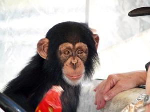 big cat rescue chimpanzee