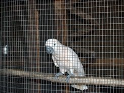 big cat white cockatoo bird