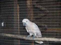 big cat white cockatoo bird