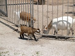big cat rescue's pygmy goats