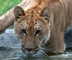 Liger at Big Cat Habitat and Gulf Coast Sanctuary