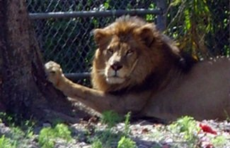 lion at big cat sanctuary sarasota florida