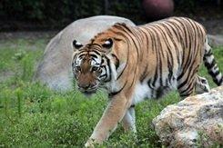 tiger at big cat sanctuary and habitat sarasota